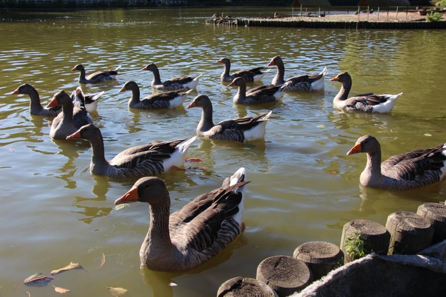 Canards du lac
